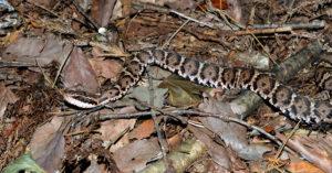 【山キャンプ】キャンプに行く前に覚えておいたほうが良い危険生物「爬虫類編」